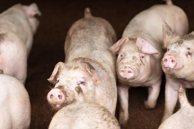 菊地の豚『だいじょ豚』